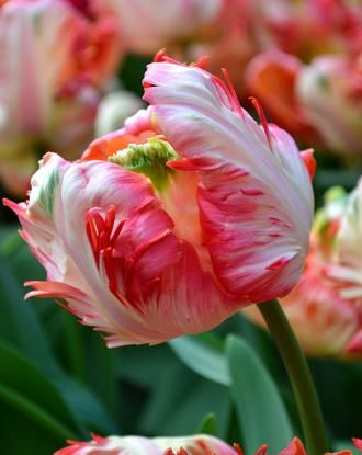db89f360bbbda Tulip Apricot Parrot