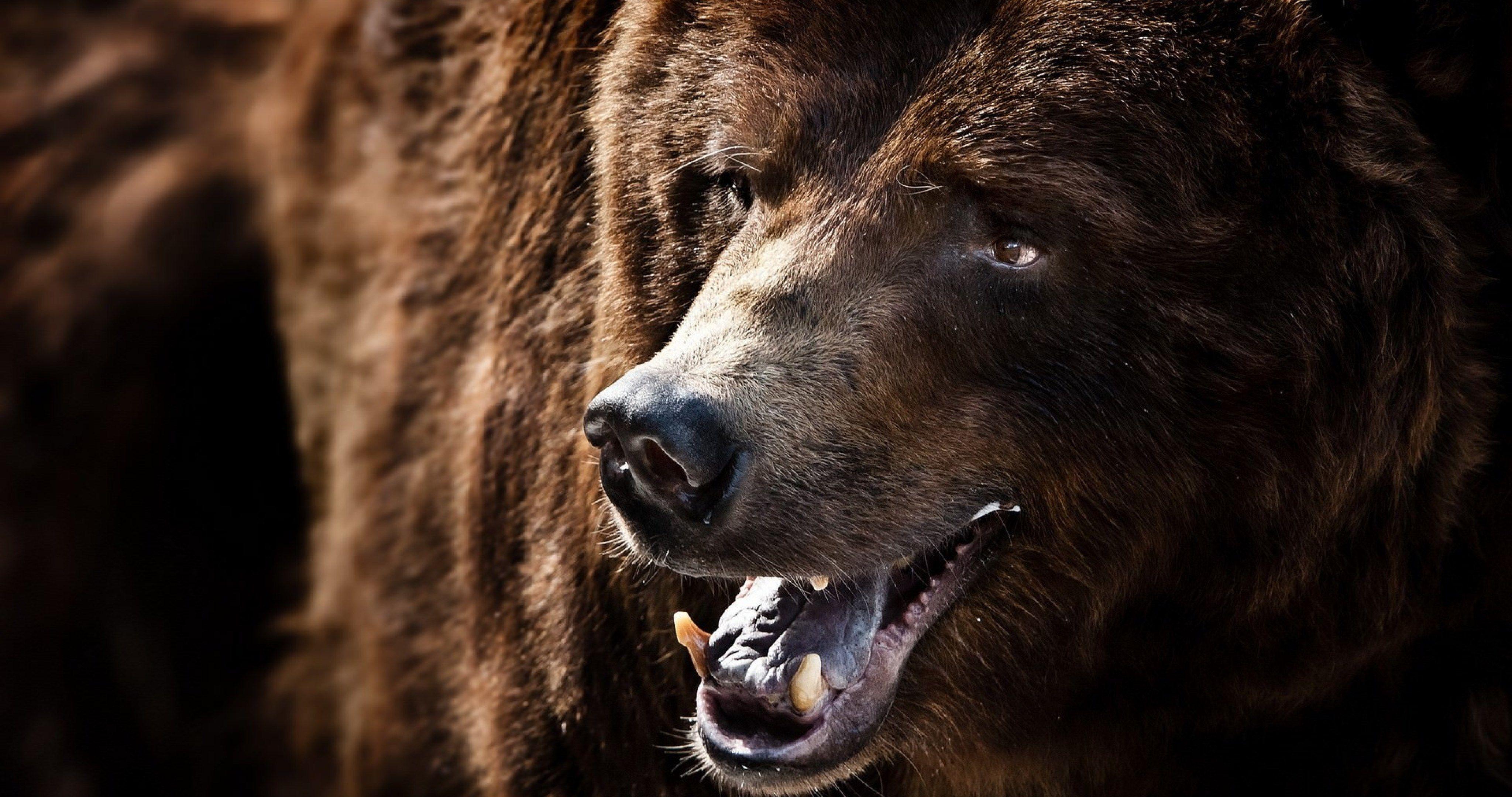 grizzly bear wallpaper 4k ultra hd wallpaper Bear, Bear