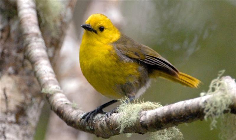 yellowhead or mohua mohoua ochrocephala birds mohouidae wh