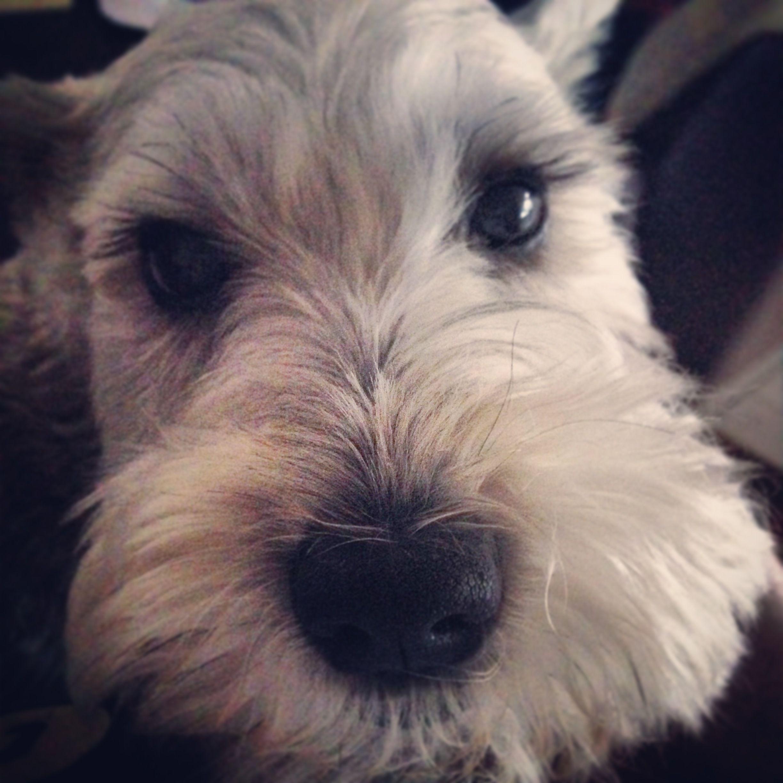 Sabrina S Nose A Community Of Schnauzer Lovers Dog Friends Schnoodle Dog I Love Dogs
