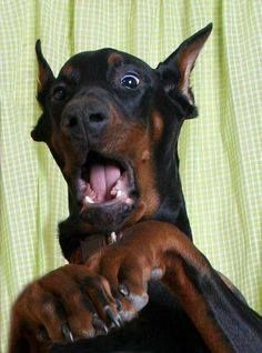 What Do You Mean You Can T Find My Bone Doberman Pinscher