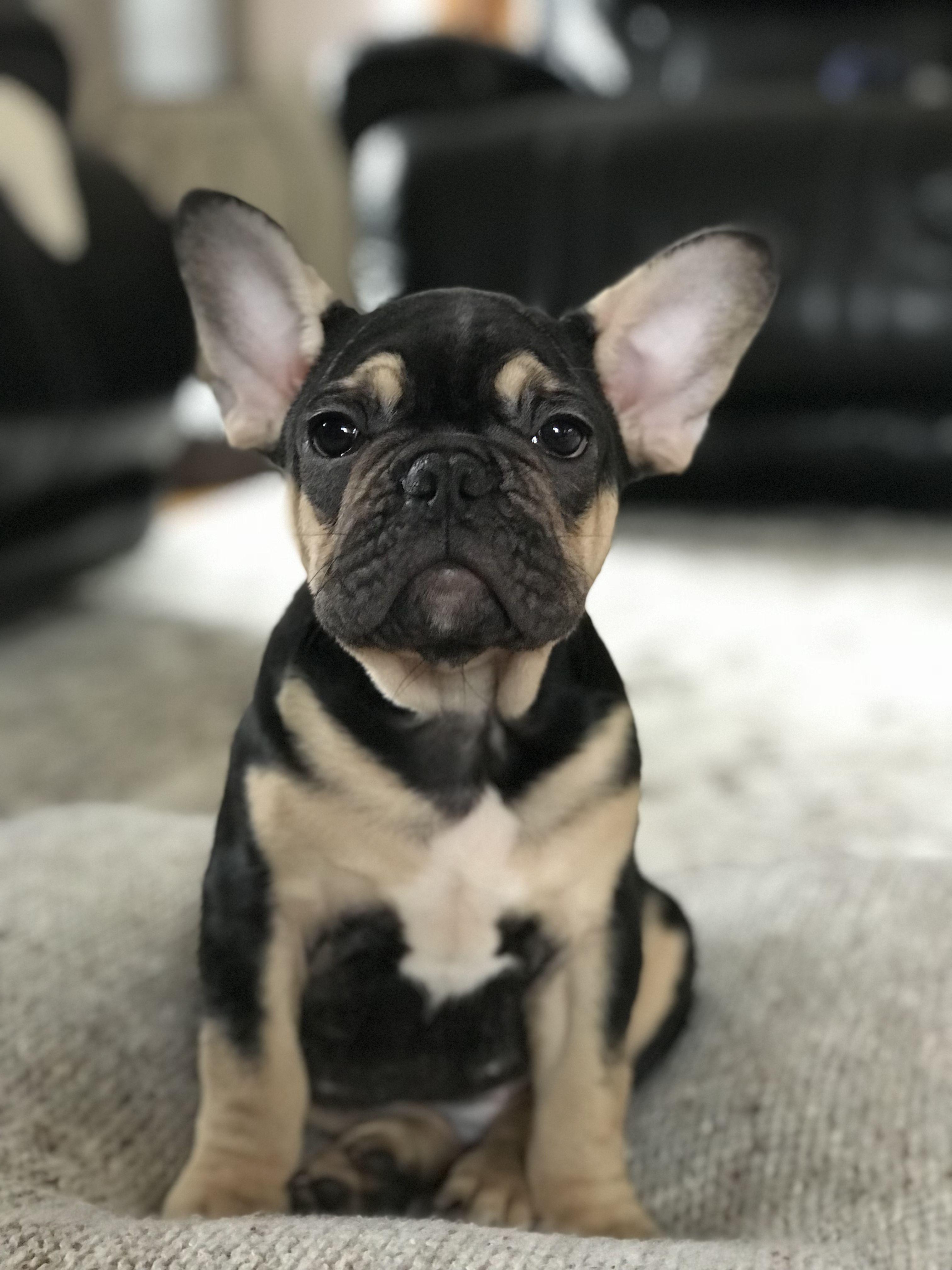 black and tan french bulldog | animals | french bulldog puppies