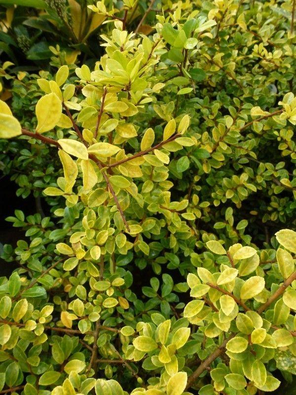 Ilex crenata \'Golden Gem\' (50-80 cm WG) | Reserve | Pinterest