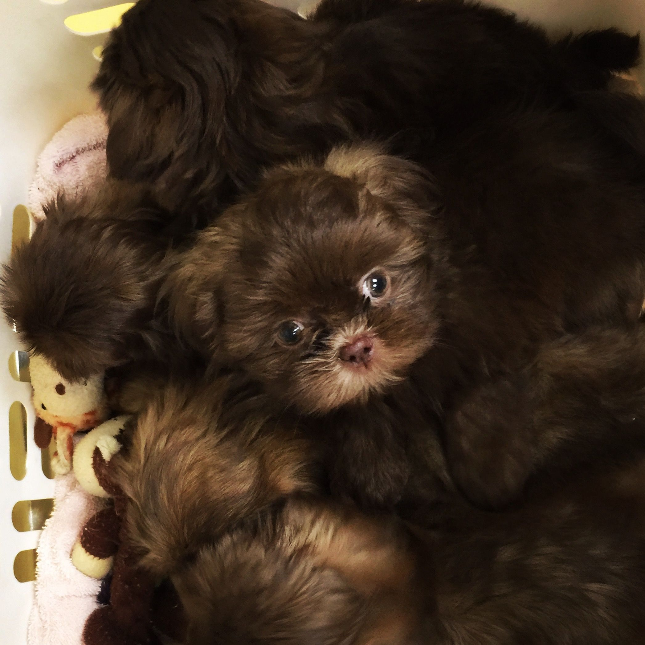 Basket full of Chocolate Shih Tzu puppies by Sunnybelle