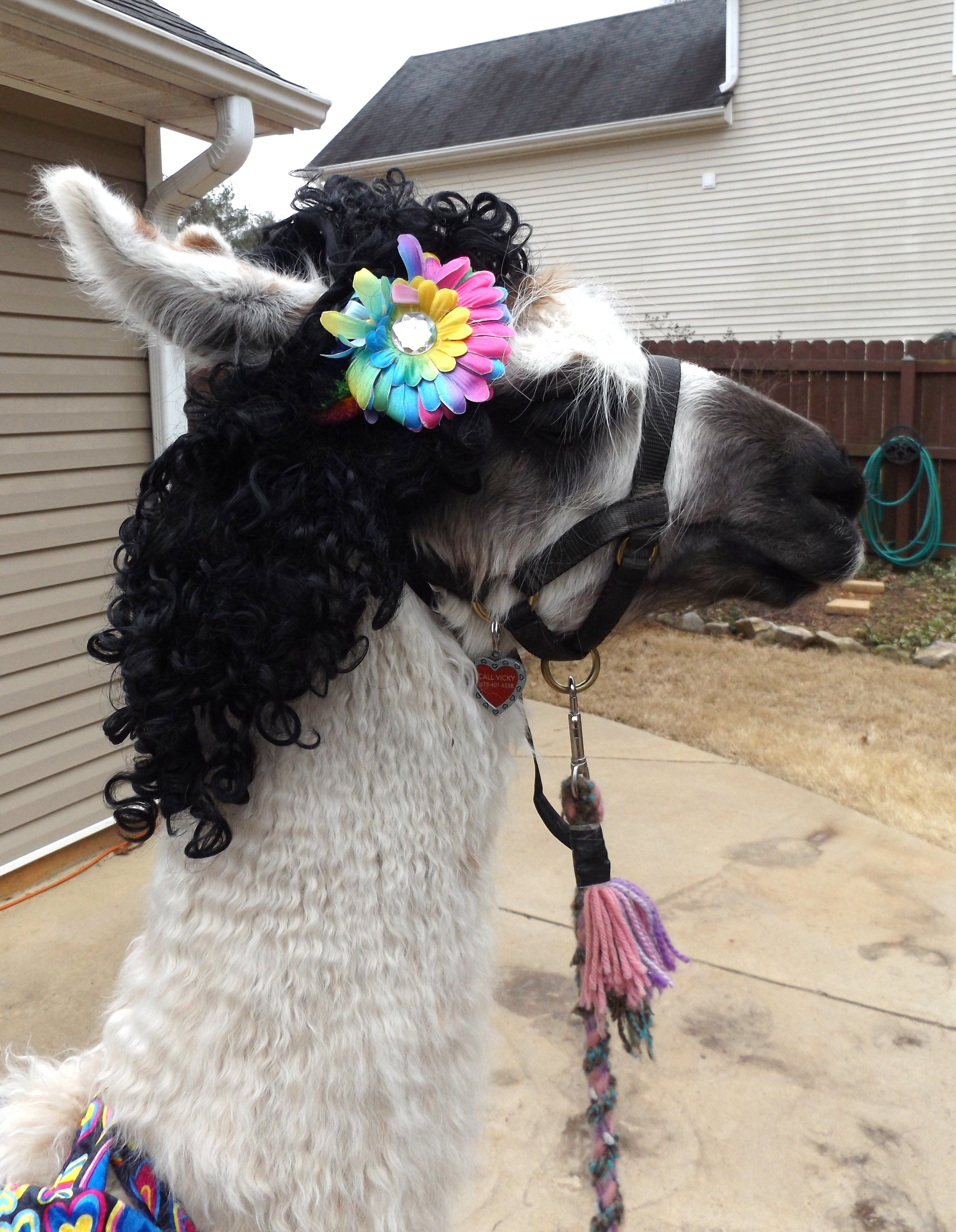 Llama Twist is modeling the wig, flower and head band I