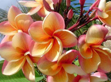 Plumeria Frangipani Plumeria India Frangipani Fleurs Incroyables Rose Du Desert Hibiscus