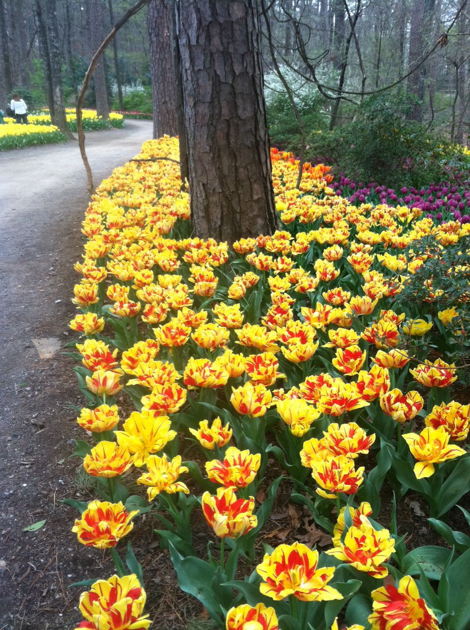 Red And Yellow Tulips At Garvan Woodland Gardens Hot Springs Ar