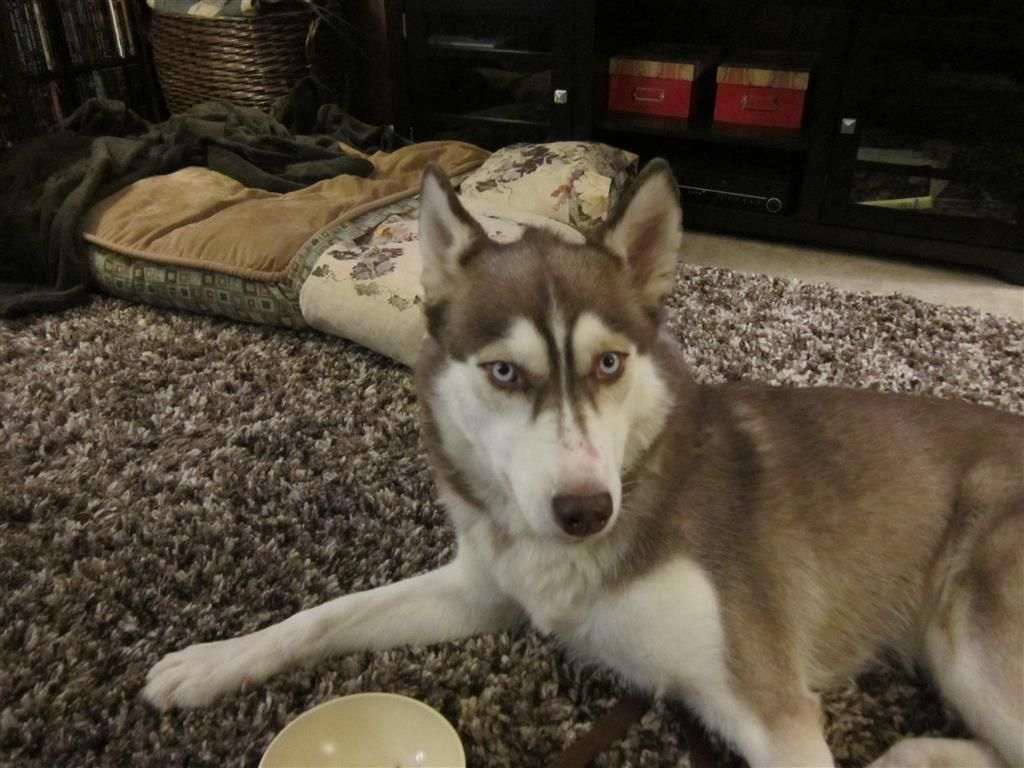 Found Dog Husky Burlington On Canada L7t 2t7 On March 15