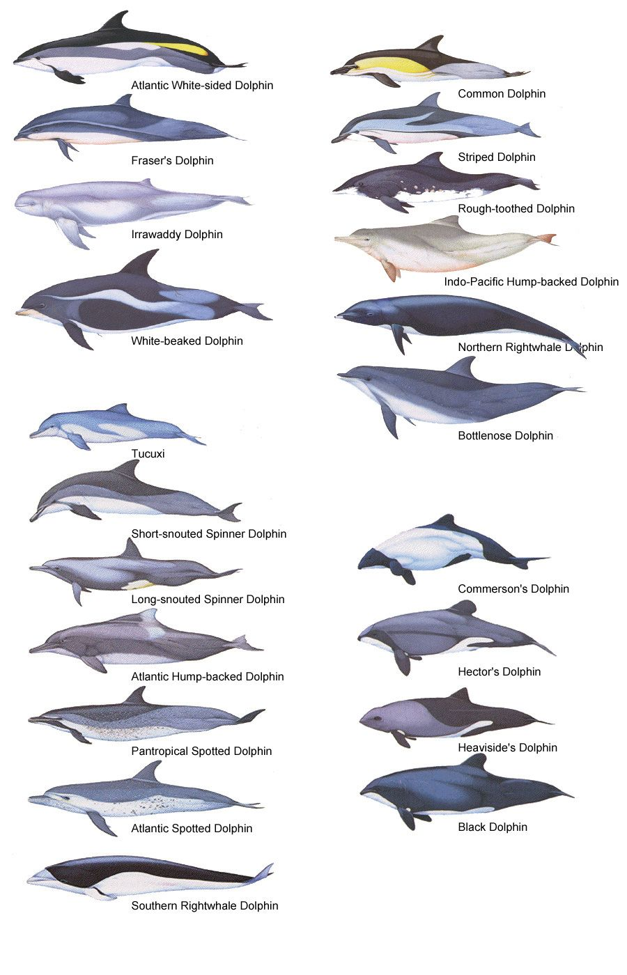 dolphin species see also marine life tattoo index nautical