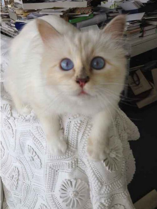 What Breed Is Choupette Lagerfeld Siamese Google Search Know