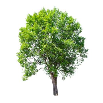 Isolated Tree On White Background Tree Clipart Png Tree Png Tree Png Transparent Clipart Image And Psd File For Free Download White Background Tree Clipart Clipart Images