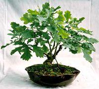 Pin Oak Bonsai Tree Quercus Palustris Bonsai Tree Bonsai Tree Care Bonsai