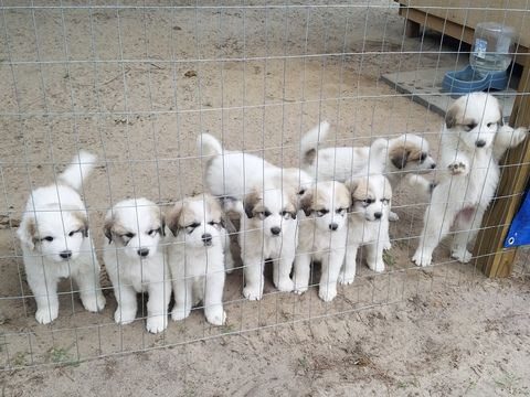 Litter Of 9 Great Pyrenees Puppies For Sale In Hope Mills Nc Adn