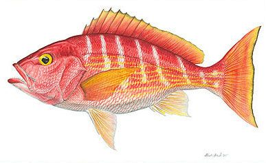 "Silk Snapper Image size: 13""w x 8""h.  Limited Edition of: 75  $175.00"