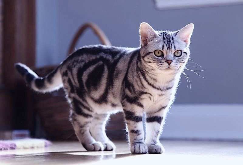 American shorthair kittens for sale cape town