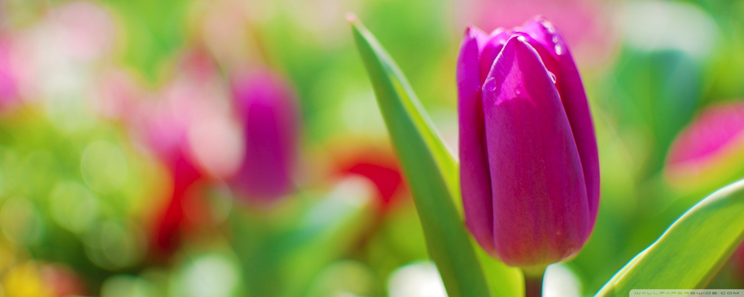 HD Wallpaper Close Up Of A Purple Tulip Wallpapers