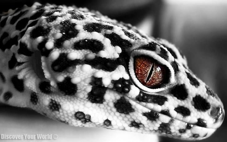 Black & White Leopard Gecko | Colors, Patterns and Design ...