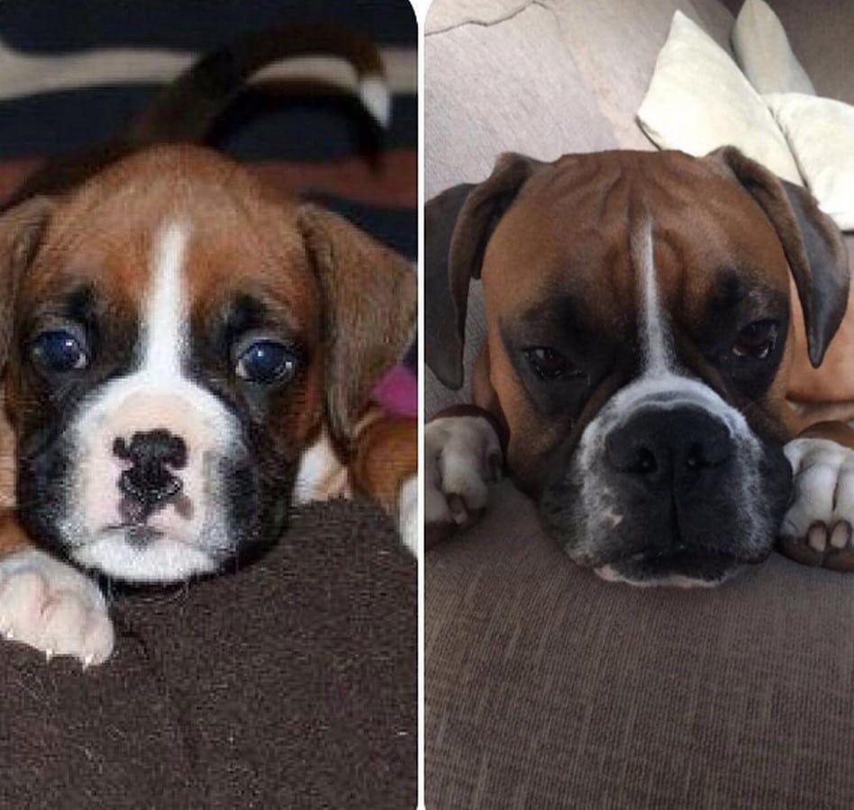19 imágenes de cachorritos después de crecer. ¡No podrás evitar llorar!