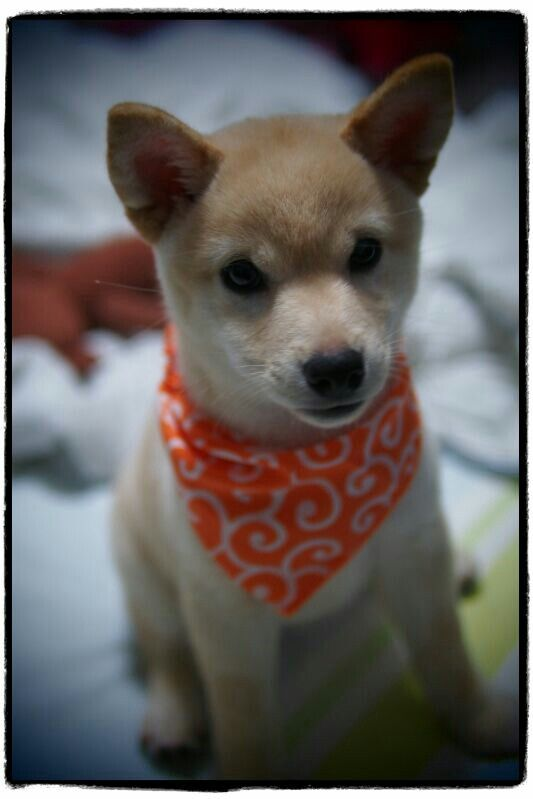 Mika #3 month old# | Pup, Shiba inu, Animals