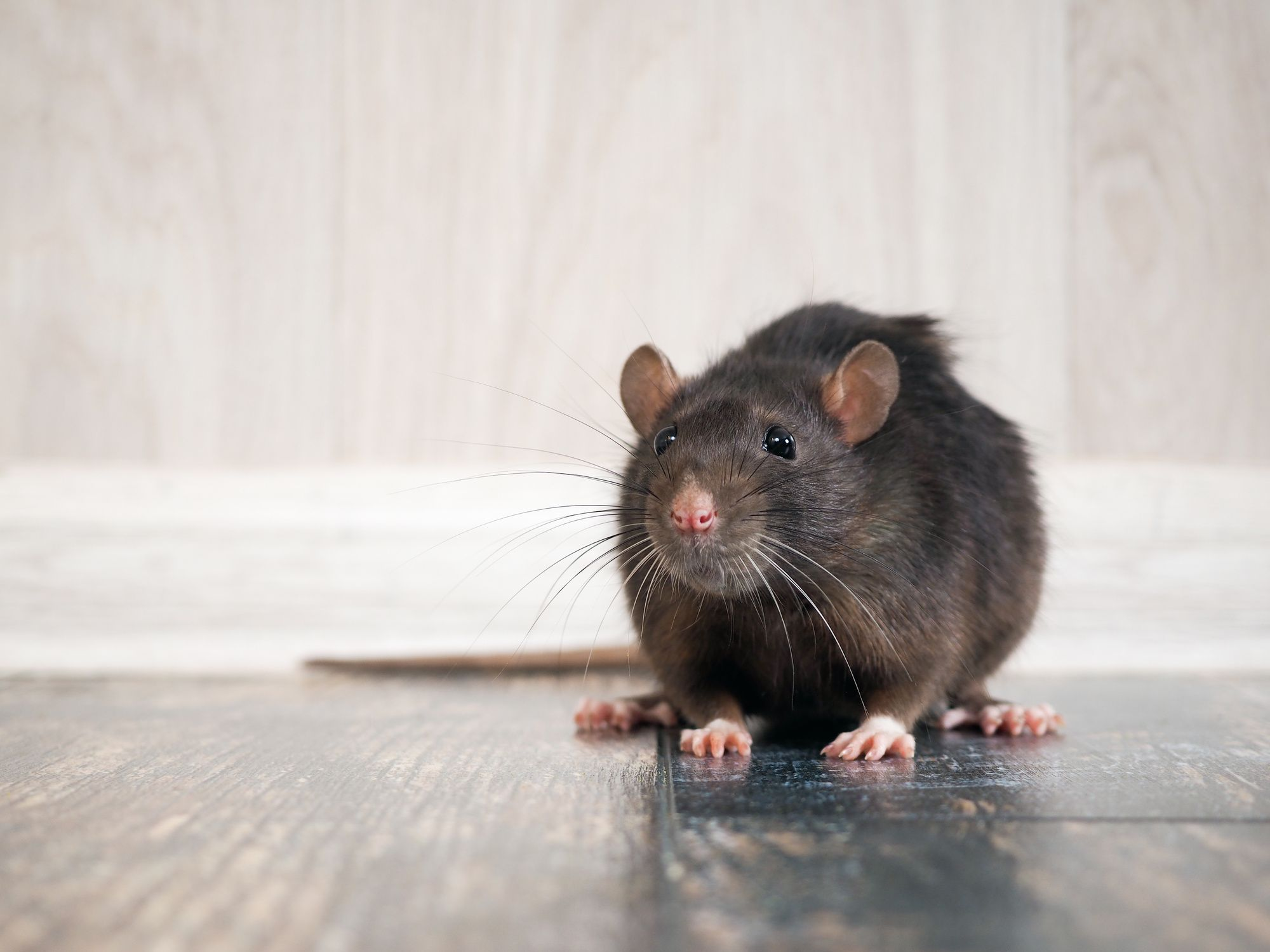 7 Warning Signs That You Have A Rodent Problem In Your Rodents Rats Scary Places