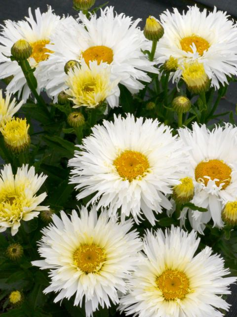 Youve never seen these plants before but youll want them for your leucanthemum belgian lace the large double white flowers have fringed petal tips and yellow centers it is a butterfly attractor and is zone 5 9 mightylinksfo
