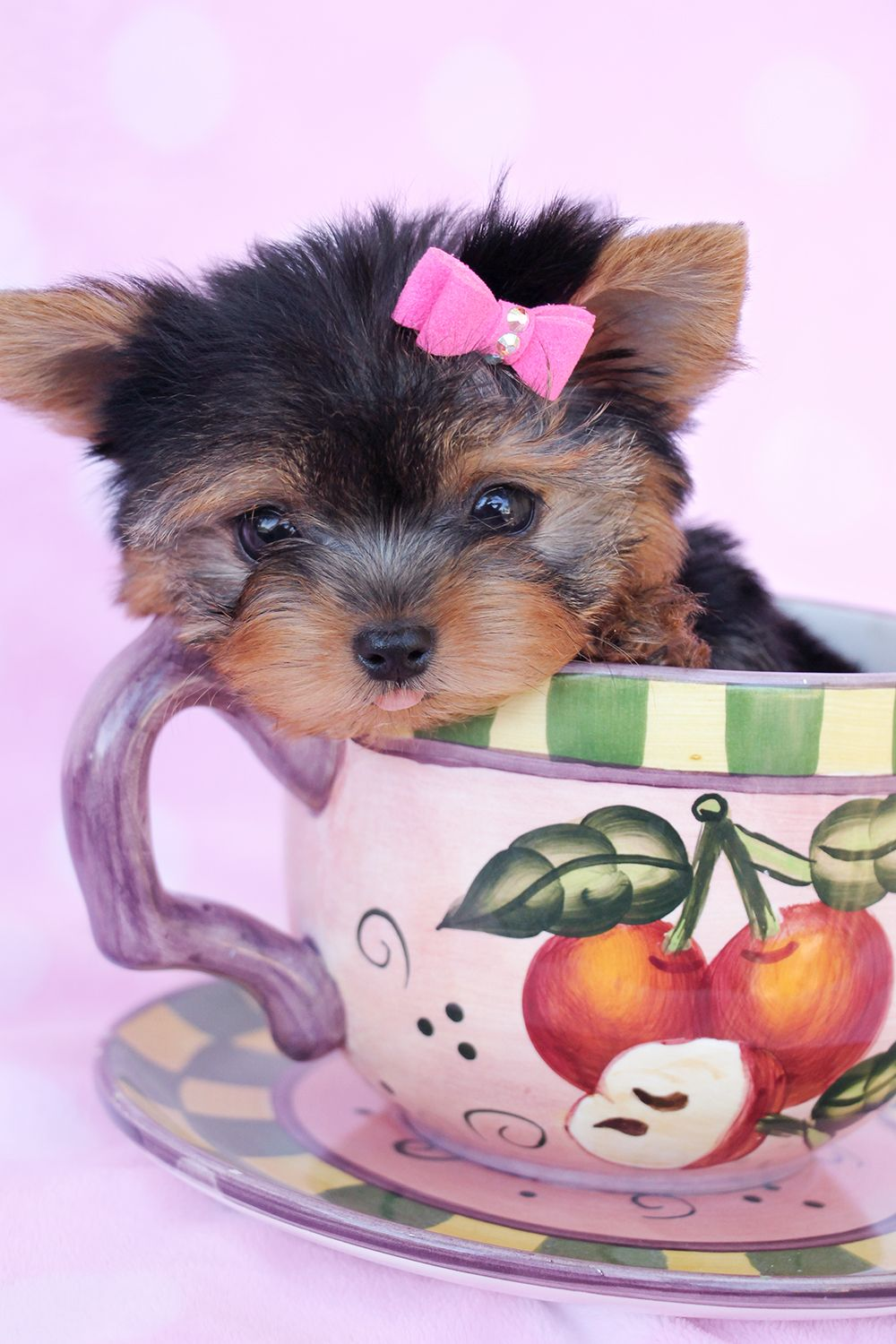 Yorkshire Terrier Puppy in a Tea Cup Teacup yorkie puppy