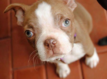 Oliver the Boston Terrier