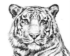 Black White Tiger Outline Lion Coloring Pages Jungle Coloring