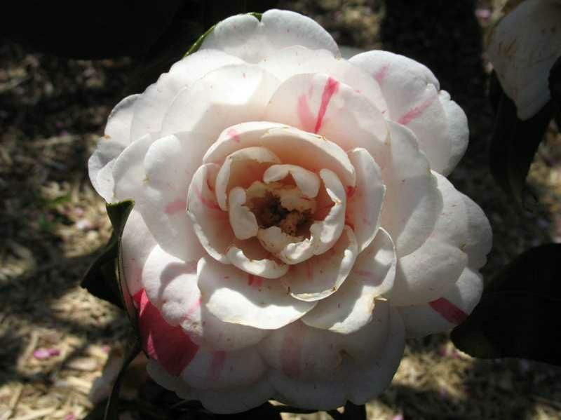 April Dawn Camellia Camellia Japonica April Dawn Moderate Growing Reaches 5 To 8 Ft Tall 3 To 4 Ft Wide Full Shade To Filt Plant Finder Plants Flowers