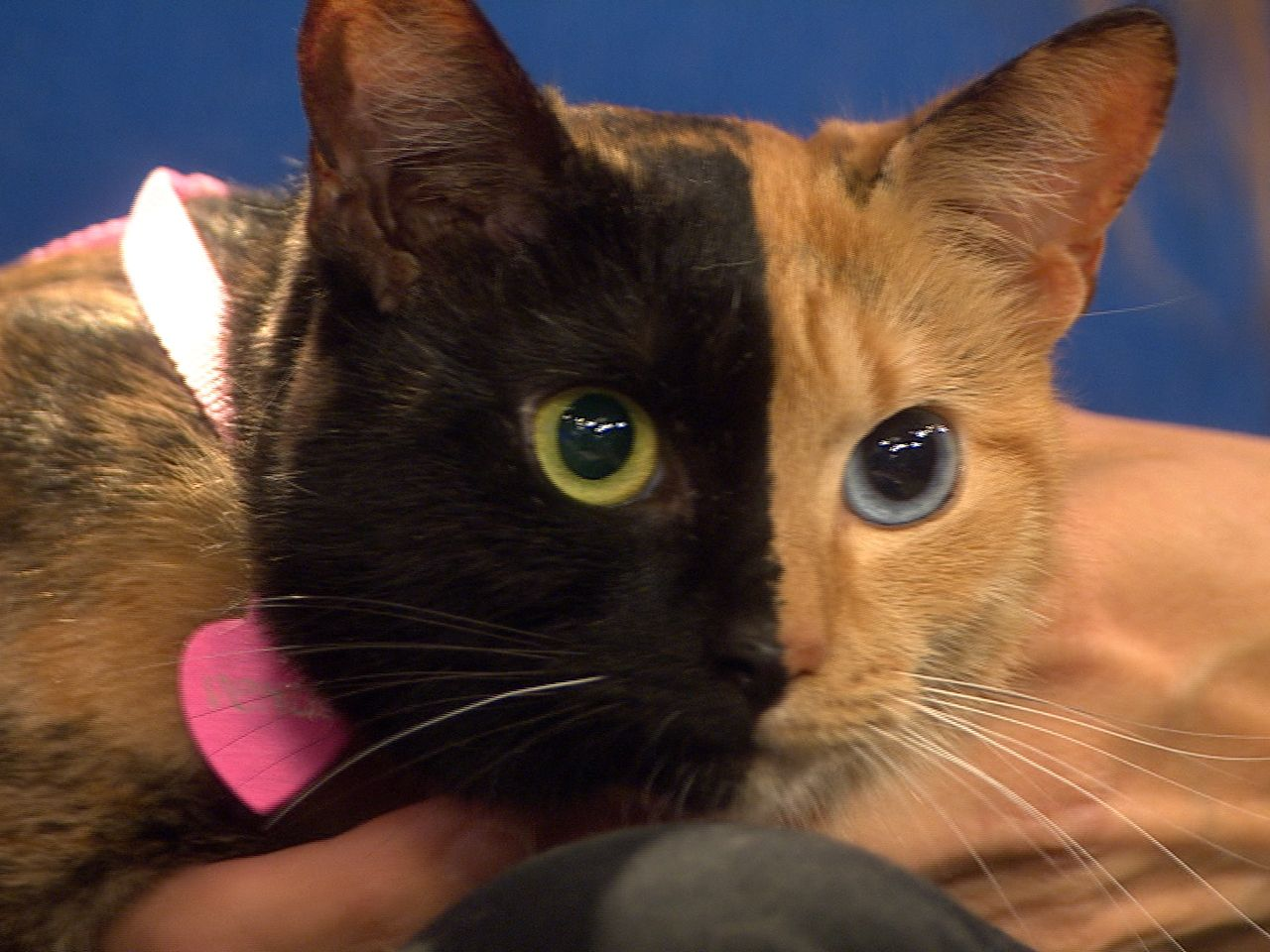 Two Faced Kitty Captures Hearts Goes Viral Two Faced Cat Animal Stories Animals