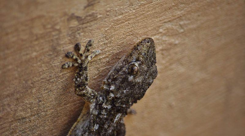 كيفية طرد الوزغ من البيت أفضل طرق التخلص من البرص نهائيا من المنزل اكتشفي ما هو أحسن مبيد حشري لقتل الوزغ وكيف تمنعي دخول البرص للشقة وما هي اسب Lizard Gecko