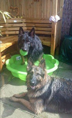 You May Have Seen These Lovely German Shepherds Juke And Belle