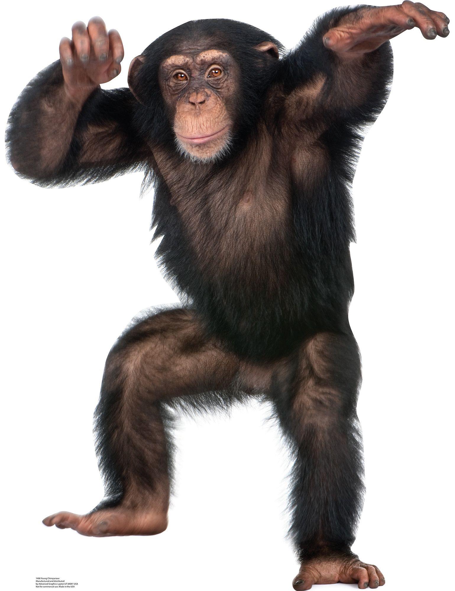 Young Chimpanzee Cardboard Stand- Cute Animals