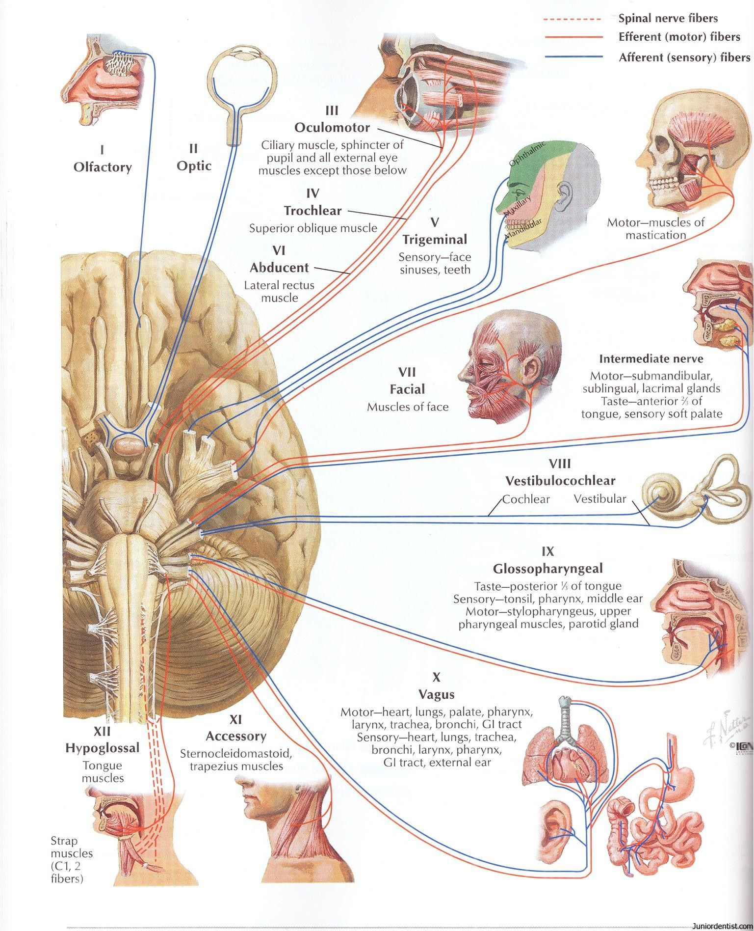 cranial nerves - Google Search | Neuroanatomy | Pinterest