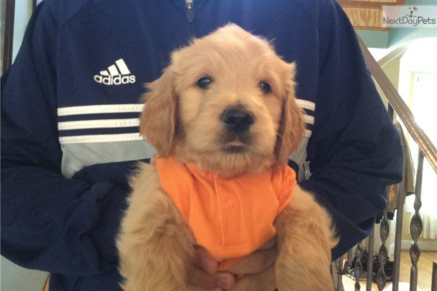 Mr orange goldendoodle puppy for sale near baltimore