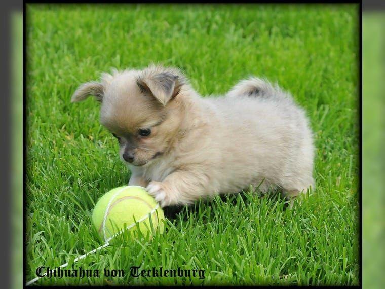 Verspielter ChihuahuaWelpe aus Münster zum Knuddeln