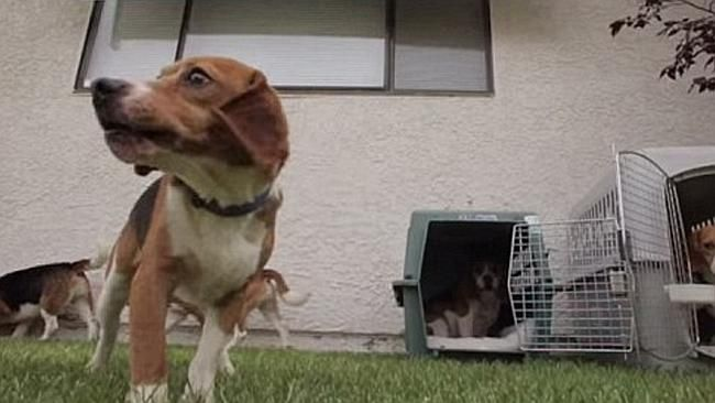 Beagle Pups Released Into The Outside World After Spending Entire
