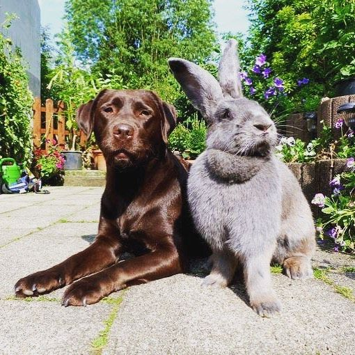 I see your Chocolate Lab and raise you a Flemish Giant! #rabbit #rabbits #rabbitlove #rabbitlife #bunny #bunnylove #bunnylovers #bunnyrabbit #bunnylife #pet #pets #cute