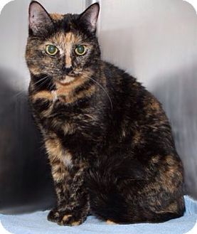Westampton Nj Domestic Shorthair Meet C 63611 Frac A Cat For Adoption Cat Adoption Kitten Adoption Cats