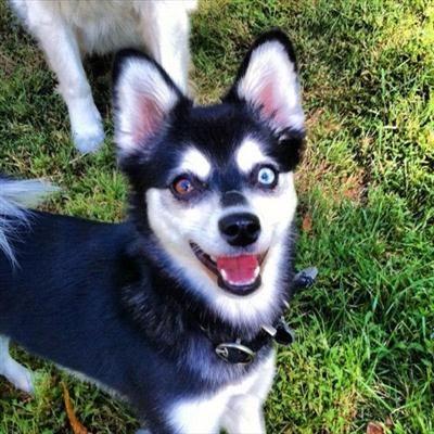 Reward Missing Mini Husky Black White One Blue Eye One Brown Eye