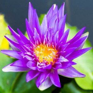 Lotus flower meaning and significance all over the world kamala purple lotus httpbuzzlearticleslotus flower meaningml mightylinksfo