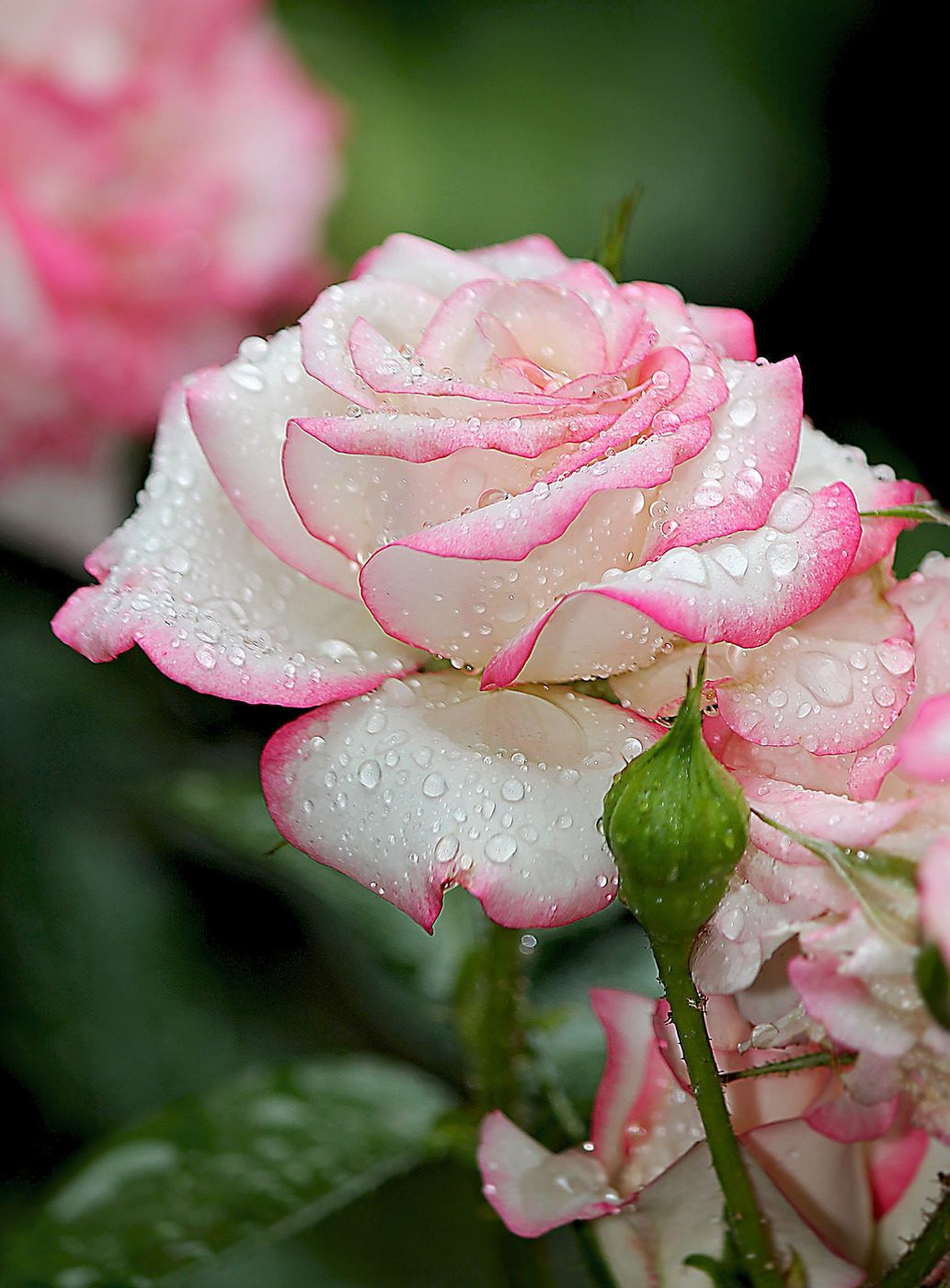 Raindrops On Roses Beautiful Flowers Pinterest Beautiful