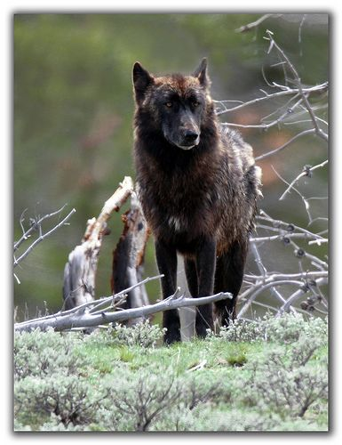 Whos afraid of the big black wolf wolf animal and german whos afraid of the big black wolf sciox Images