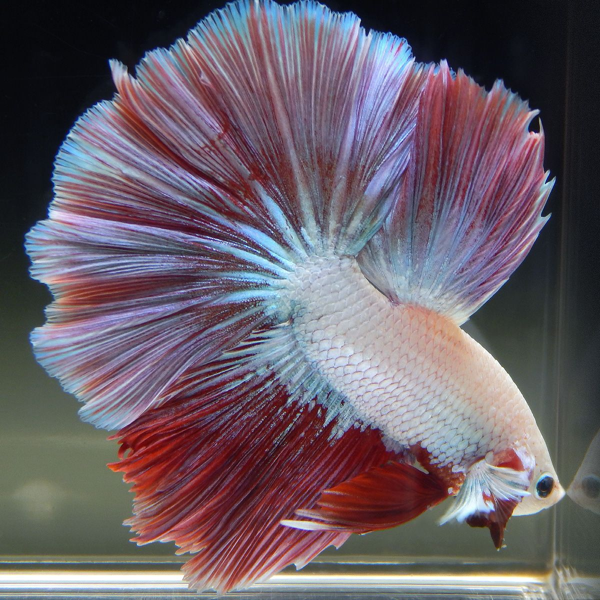 Pin by paulo cham on joias vivas pinterest betta for Where do fish live