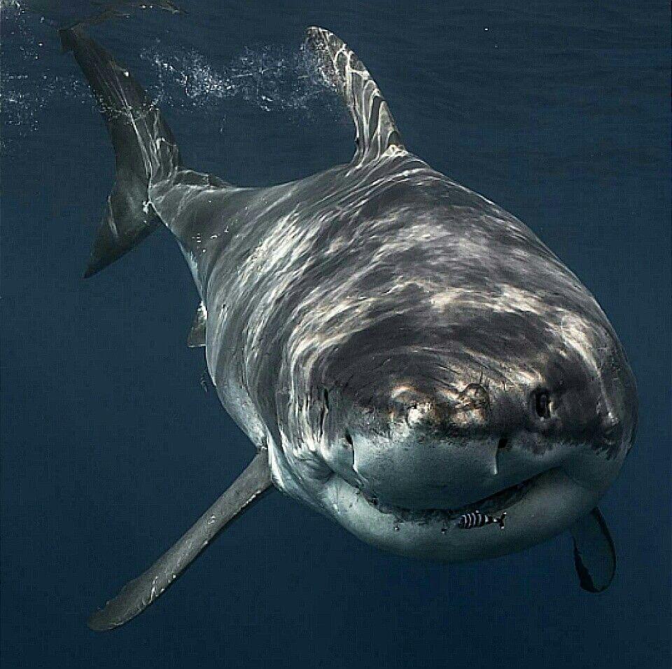 Pin de Robert Gust en sharks | Pinterest | Hermosa, Tiburones y El ...