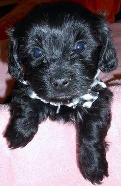 Yorkie Poo Puppies 8 Weeks Yorkshire Terrier Toy Poodle Cute Yorkie Poo Puppies Yorkie Poo Yorkie