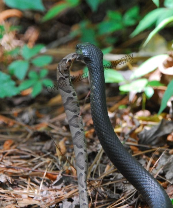 For My Local Friends Please Don T Be Afraid Of The Black Racer Snakes They Are Harmless To Us Poisonous Snakes Reptiles And Amphibians Wild Animals Photos