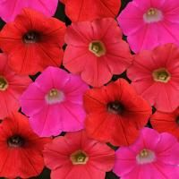 Shock Wave Mix Amp Flower Seeds Petunias Shock Wave