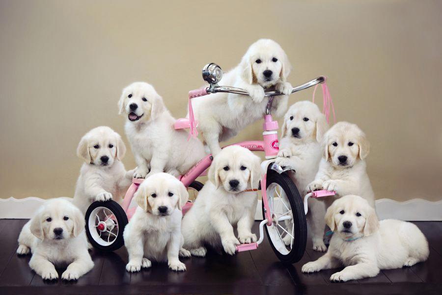 English Cream Golden Retriever Puppies Group Puppy Photo