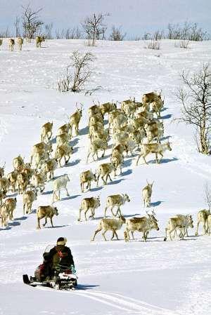 Sami Reindeer Herders | The Sami Reindeer Herders´ Association of Norway (Norske ...